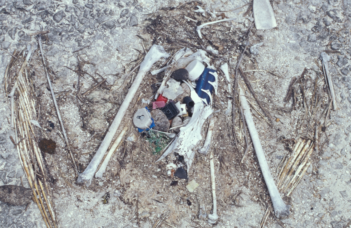 Laysan_albatross_chick_remains